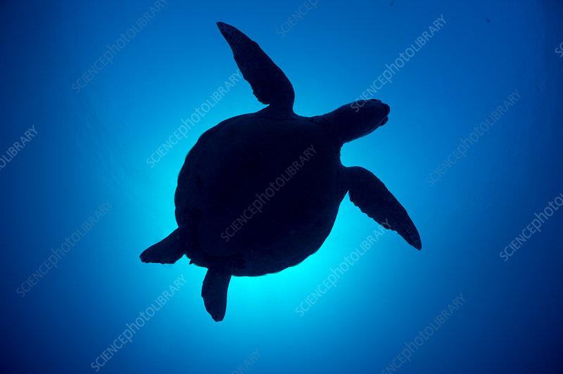 Silhouette of a Green sea turtle against sun in blue water
