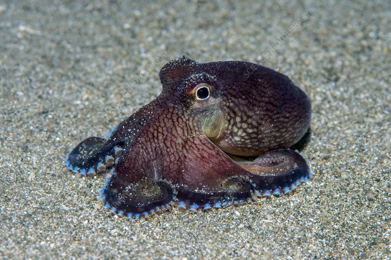 Veined octopus spreading its arms as it explores the seabed