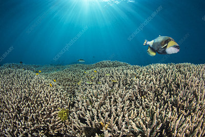 Titan triggerfish swimming over hard coral gardens