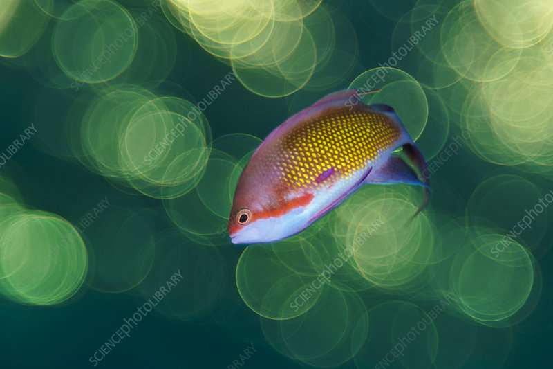Male Scalefin anthia swimming