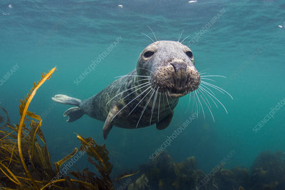 Curious young male grey seal over kelp