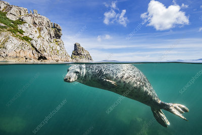 Young grey seal swimming at surface beneath cliffs