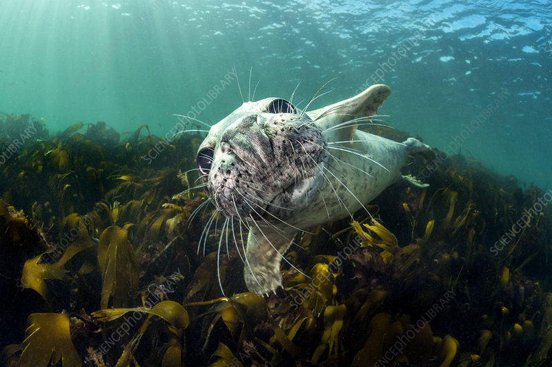 Curious young grey seal over kelp