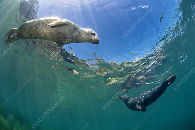 Young female and young male grey seal swimming in shallows