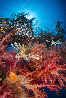 Pair of lionfish prowling soft coral