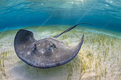 Large female stingray forages over seagrass in shallow water