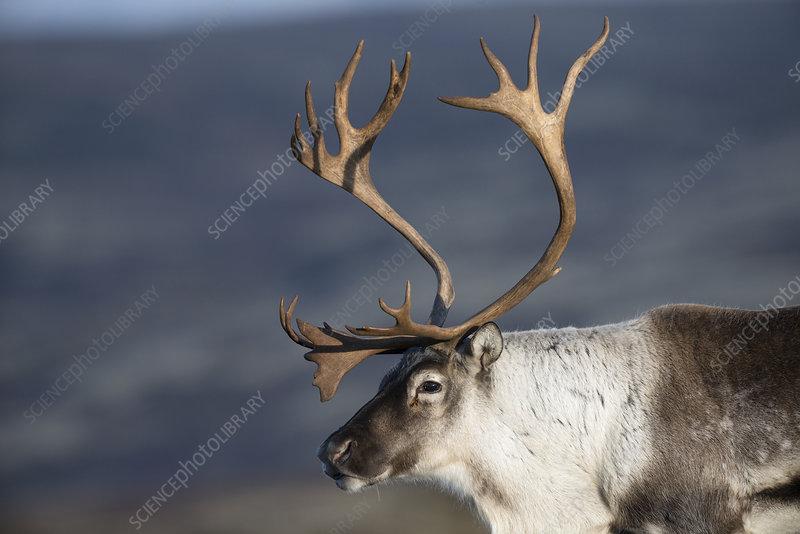 Wild reindeer male in autumn, Norway