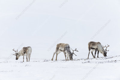 Wild Reindeer, Forollhogna National Park in February, Norway