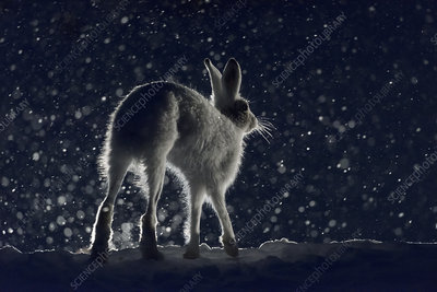 Mountain hare, Norway
