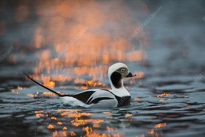 Long-tailed duck male in winter, Batsfjord, Finnmark, Norway