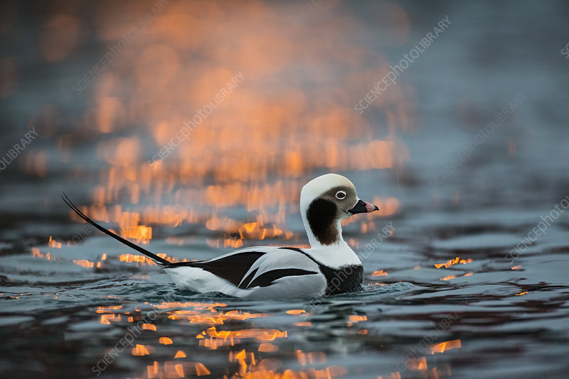 Long-tailed duck male in winter, Batsfjord, Finnmark, Norway