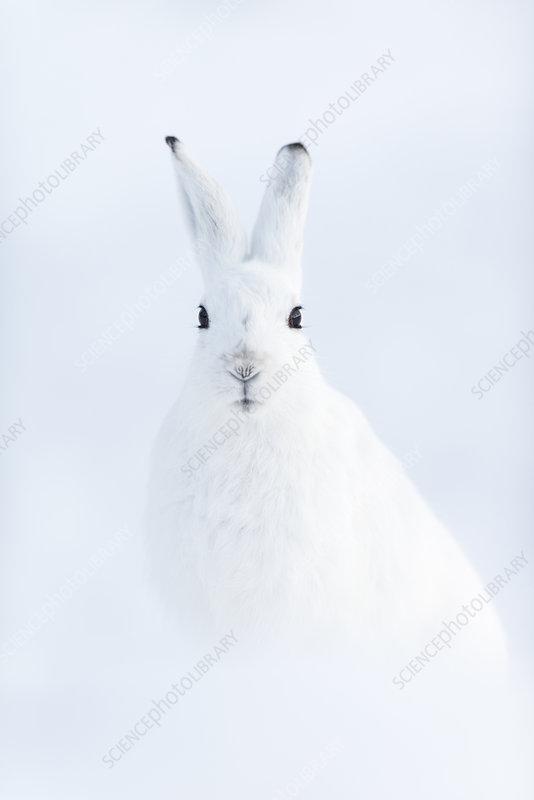 Mountain hare, Vauldalen, Norway