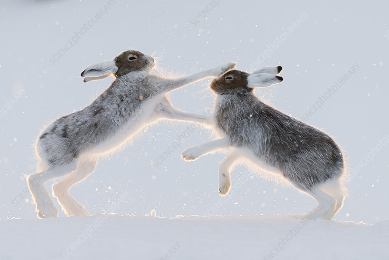 Two Mountain hares boxing, Vauldalen, Norway