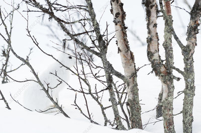 Mountain hare amongst Birch trees