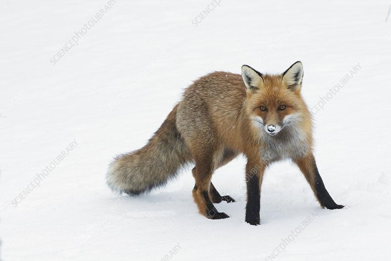 Red fox in snow, Vauldalen, Norway