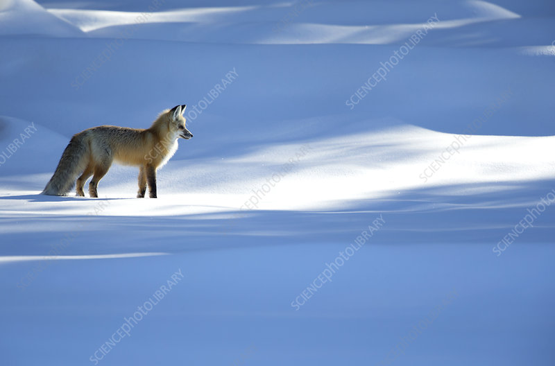 Red fox in dappled light on snow