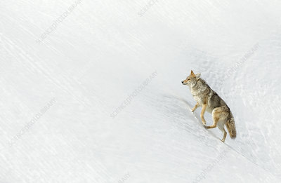 Coyote in snow, Yellowstone National Park, USA