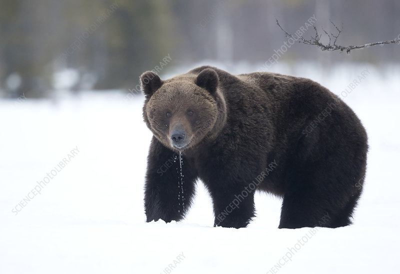 Brown Bear in the snow, Finland