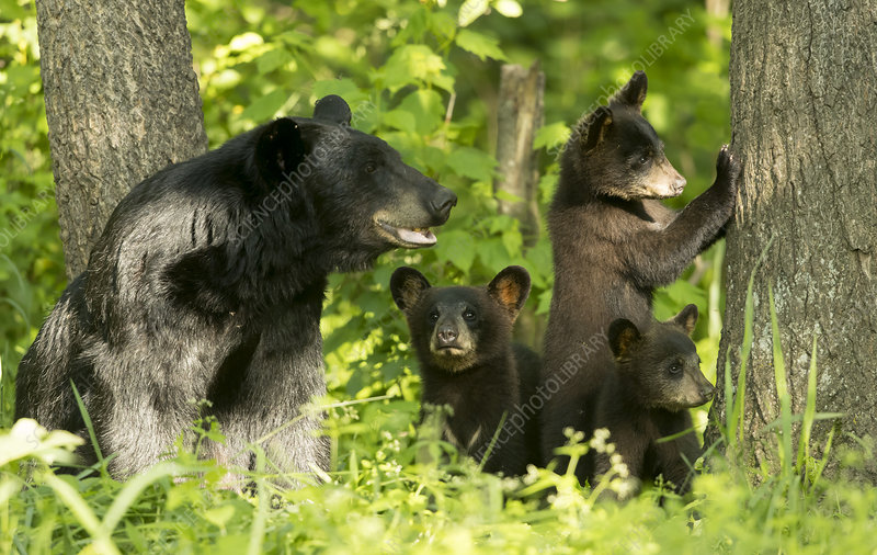 Black Bear female and cubs in woodland, Minnesota, USA