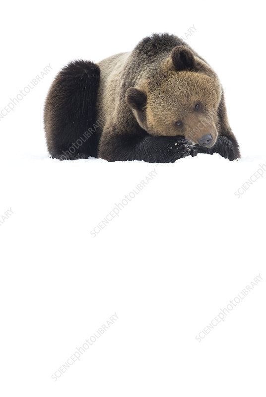Brown Bear resting in the snow, Finland