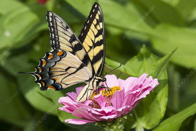 Eastern Tiger Swallowtail Butterfly nectaring on Zinnia