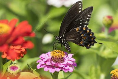 Spicebush Swallowtail Butterfly nectaring on Zinnia