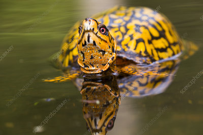Male Eastern Box Turtle in wetland stream