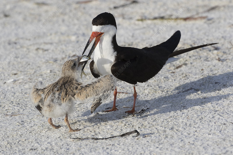 Black Skimmer adult feeding fish to chick in nesting colony