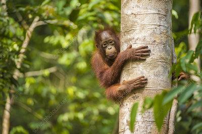Young Bornean orangutan in tree