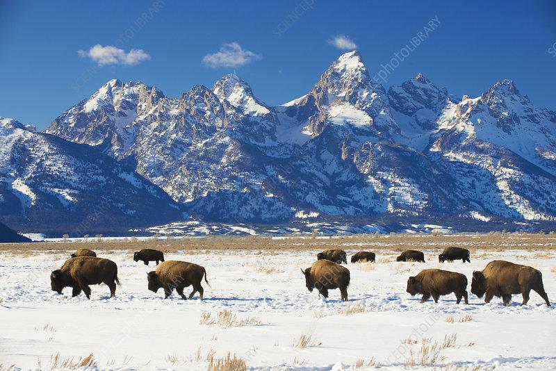 American bisons in Grand Teton National Park, Wyoming, USA