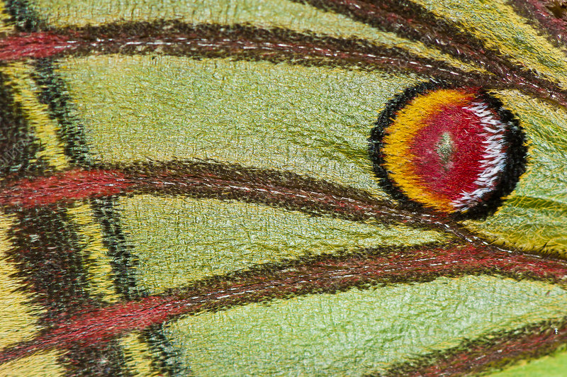 Graelsia butterfly, wing detail