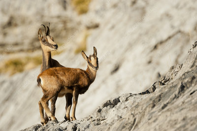 Chamois, Ordesa national Park, Pyrenees, Spain