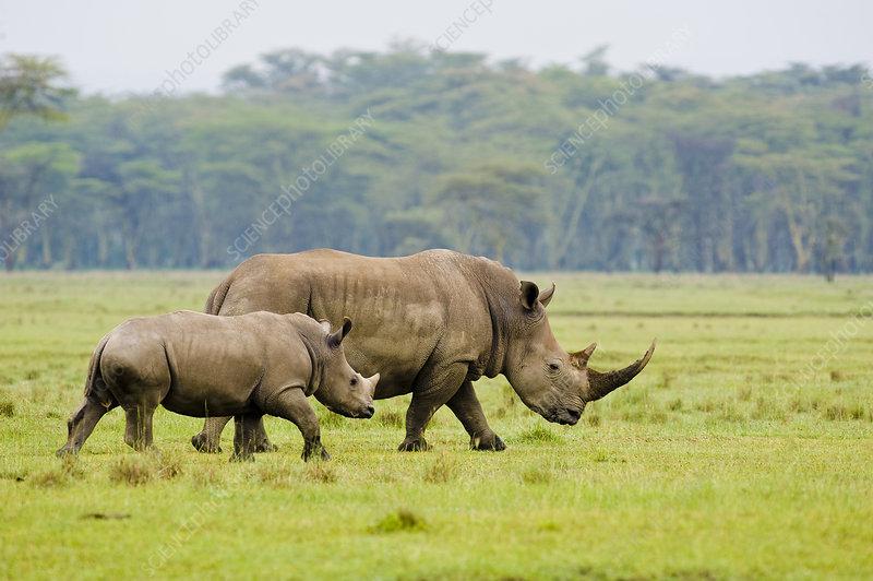 White rhino mother and calf, Nakuru National Park, Kenya