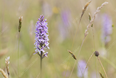 Common Spotted Orchid, (Dactylorhiza fuchsii)