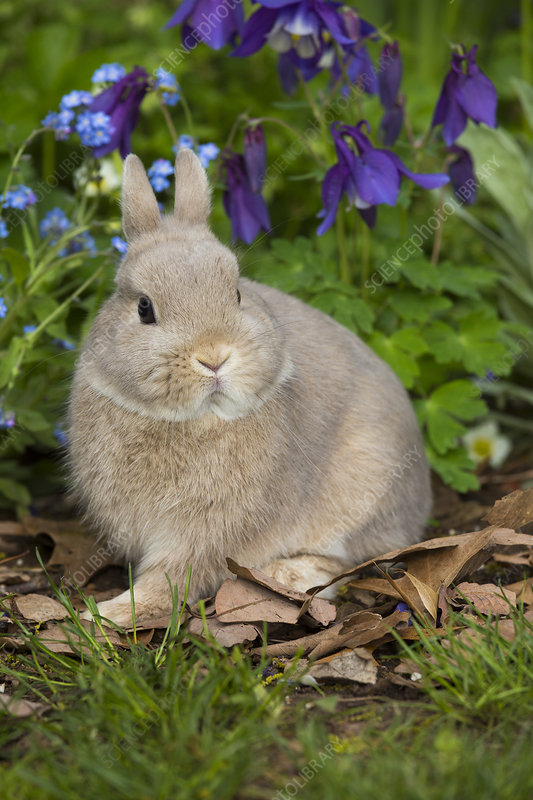 Netherland dwarf baby in Forget-me-nots and Blue columbine