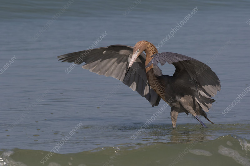 Reddish egret hunting small fish in open-swing stance