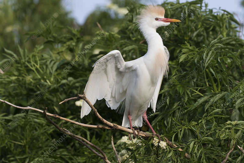 Cattle egret in breeding plumage perched near nest