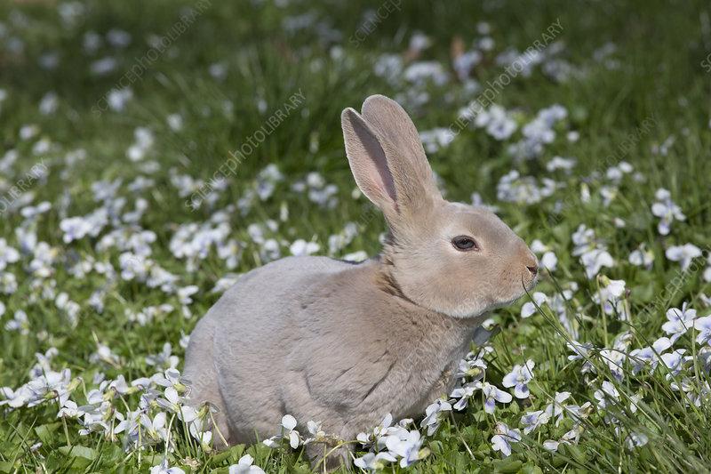 Rex rabbit in wild violets, Preston, Connecticut, USA