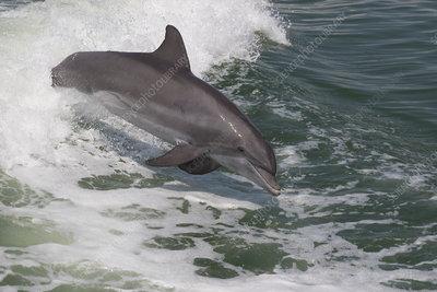 Atlantic bottlenose dolphin leaping