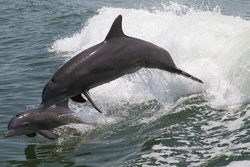 Atlantic bottlenose dolphins mother and calf leaping
