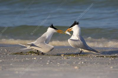 Royal tern offering fish to female as part of courtship