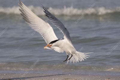 Royal tern with fish, landing on beach