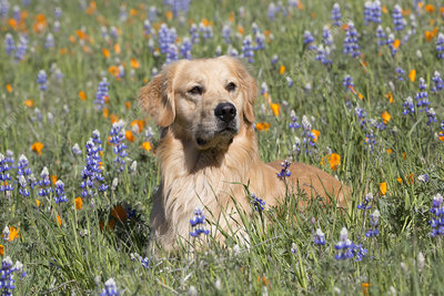 Male Golden retriever in Lupine and California poppies
