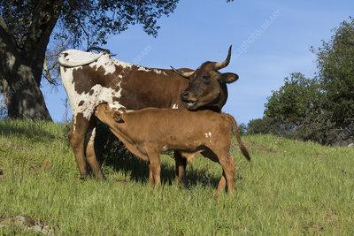 Texas longhorn cow nursing calf on hill country ranch land