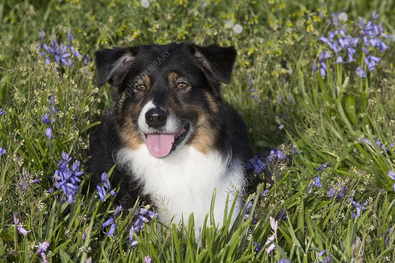 Australian shepherd in spring flowers