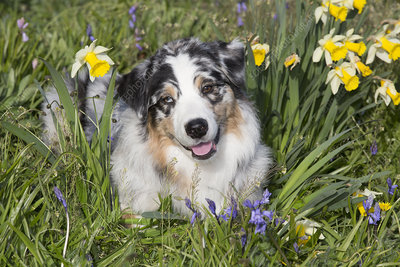 Australian shepherd in spring flowers