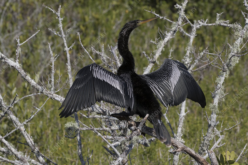 Anhinga on dead, lichen-encrusted branch, drying wings