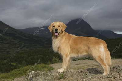 Female Golden retriever standing on mountain ledge