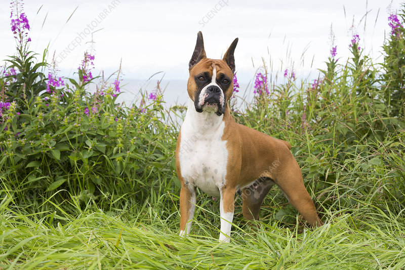 Female Boxer standing in wild grass and Fireweed