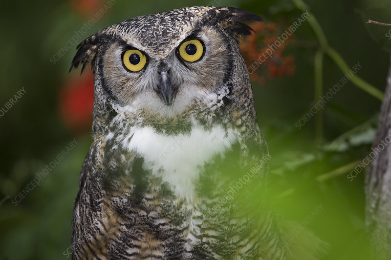 Great horned owl in woodland